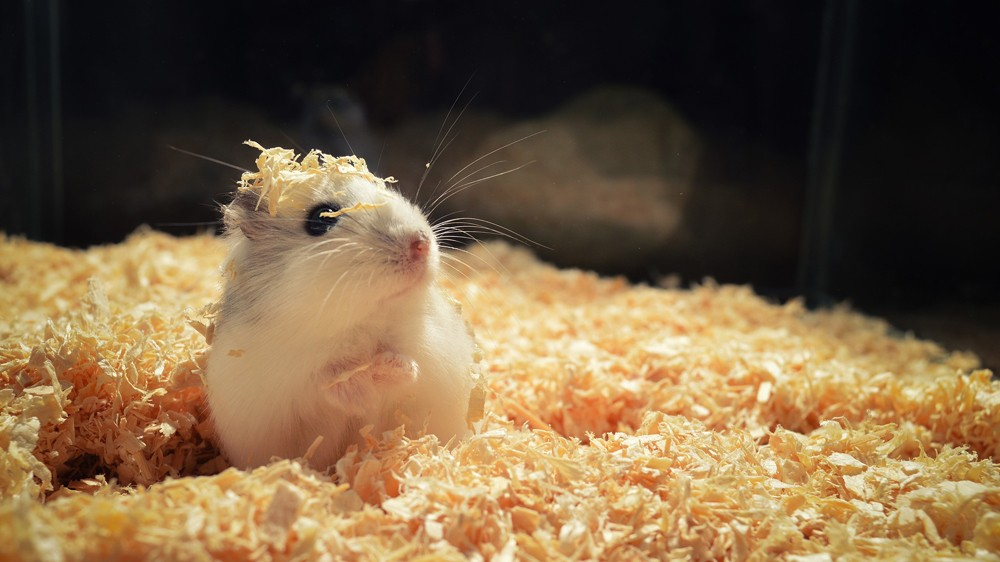 a hamster with some hamster bedding