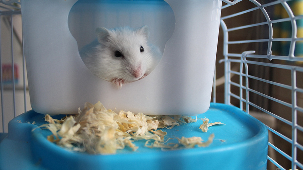 hamster in a cage.