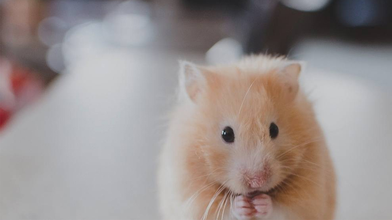 a hamster playing in a hamster toy