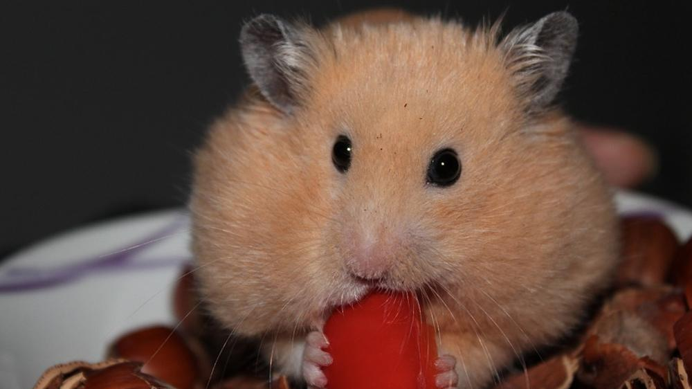 hamster food being eaten by a hamster
