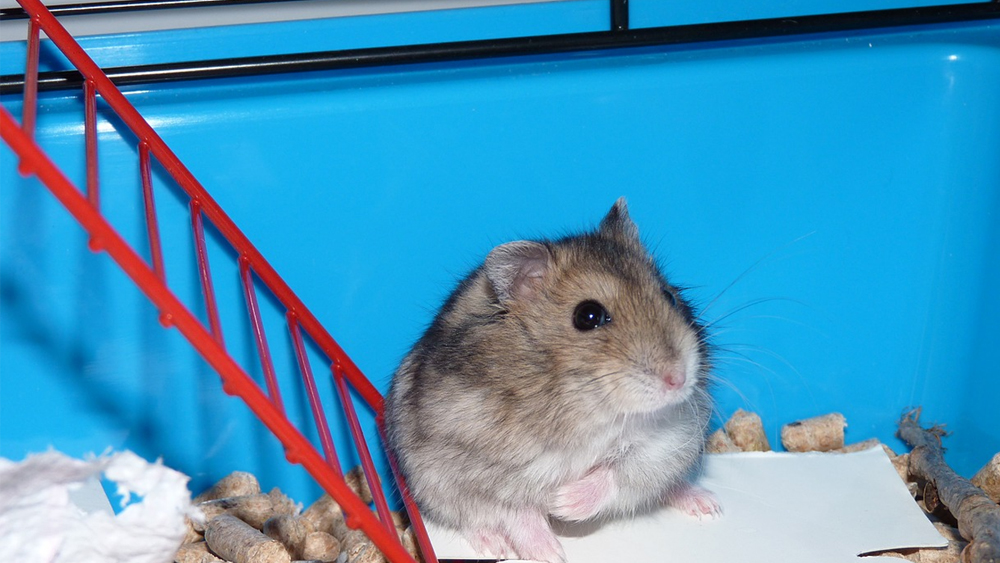 how often to clean a hamster cage featured image