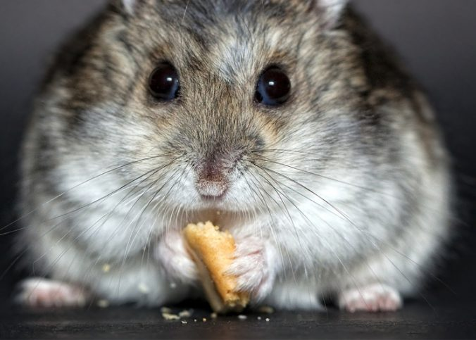 featured image for what hamsters can eat besides hamster food article.