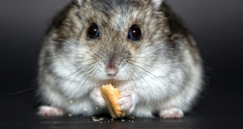 a hamster eating