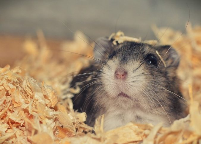 why hamsters need bedding featured image.