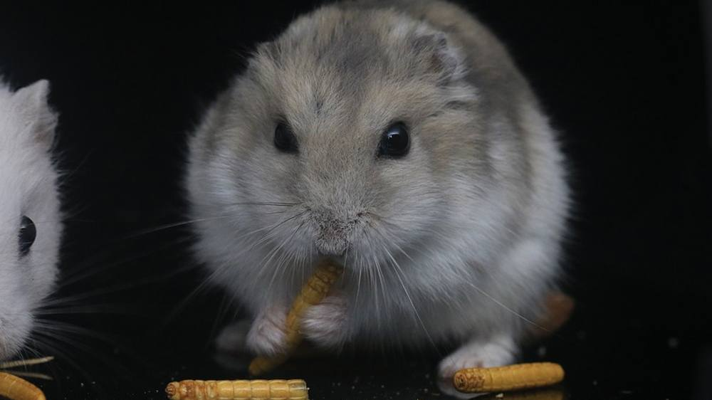 featured image for the why hamsters store food in their mouth article.